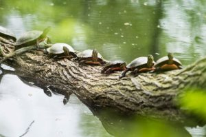 Painted turtles line the limb of a fallen tree in Willow Creek near the Gymnasium-Natatorium and Temin Lakeshore Path at the University of Wisconsin-Madison, ready to bask in the warmth of spring sunlight trying to shine through the clouds on May 14, 2015. The wooded area is part of the Lakeshore Nature Preserve. (Photo by Jeff Miller/UW-Madison)